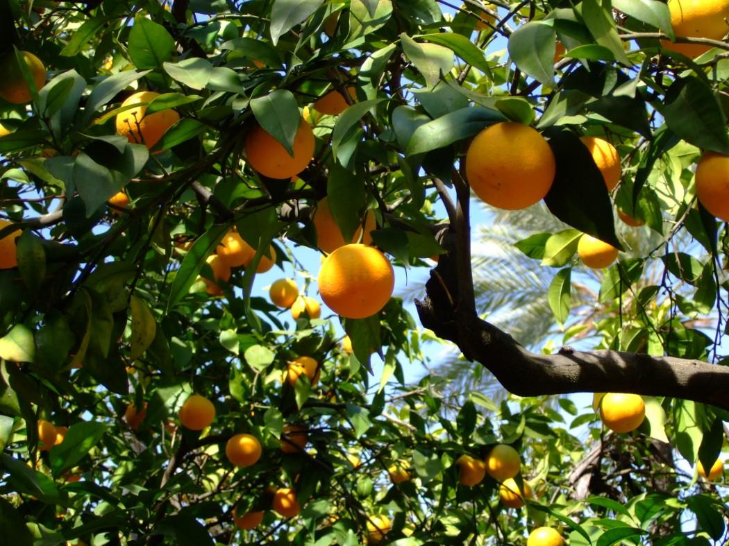 Seville orange tree